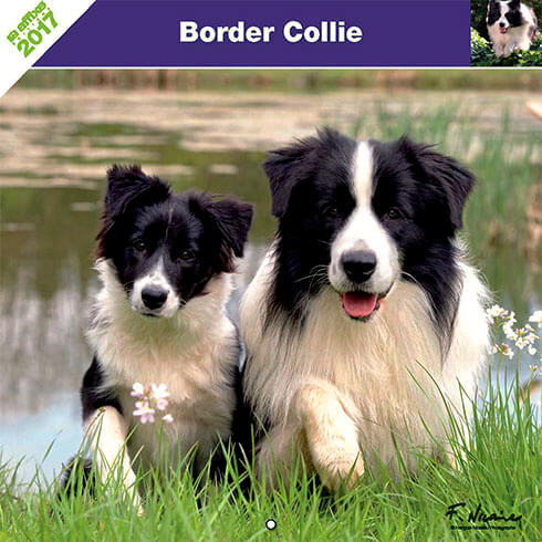 Dog Calendar 2017 - Breed Border Collie - Affixe Edition